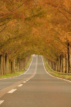 Avenue of Metasequoia, Japan (by Kazumi Ishikawa)