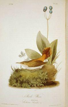 Rock Wren: The Birds of America by John James Audubon, Pl. Audubon Birds, Birds Of America, John James Audubon, Bird Illustration, Bird Pictures, Animals Of The World, Wren, Bird Prints, Bird Art