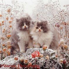 Kittens among snowy flowers