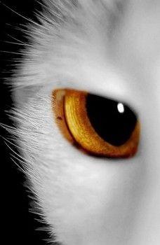 Amber animal eye