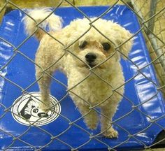 Meet Wallie a Petfinder adoptable Poodle Dog   Joliet, IL   Wallie is a fantastic 2 year old male poodle mix. He is a very sweet and calm little man that just...