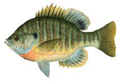 Bluegill fish example....