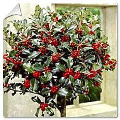 Houx 'Alaska' / Ilex aquifolium Alaska