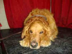 No longer available. A3220107 URGENT BALDWIN PARK SHELTER is an adoptable Golden Retriever Dog in Baldwin Park, CA. **WE NEED VOLUNTEERS TO POST & REMOVE PETS ON PETFINDER. IF YOU CAN COMMIT TO THE CAUSE OF HELPING SAVE S...