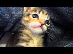 Super Cute Tortie Foster Kitten Clawing My Jeans - 3 Weeks Old - YouTube