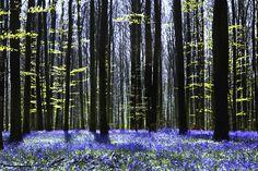 Dark Tree and Bluebells - Fototapeter & Tapeter - Photowall