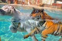 Who's using their tiger arms this summer? #waterbabies #swimming #tigers