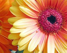 I love that this daisy has pink orange and yellow! I want it in my garden and at my wedding!