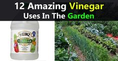 Chemicals and toxins are the last thing you want to feed your garden plants with. The market offers thousands of chemical-based pesticides and fertilizers. Although these are super cheap, they're definitely bad for the environment, not to mention their detrimental effect on health. Vinegar is the right option for gardeners who look for an eco-friendly product that's both affordable and safe. White distilled vinegar has numerous uses in the garden. You'll be surprised to learn more about its…