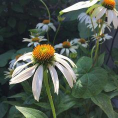 White is so refreshing in the garden, especially the showy Coneflowers. Amazing Flowers, Landscape, Garden, Instagram Posts, Plants, Scenery, Garten, Lawn And Garden, Gardens