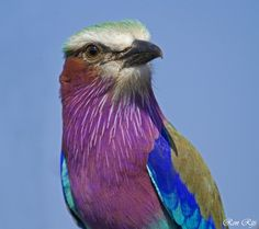 Lilac-breasted roller showing off amazing colors in the sunlight Pretty Birds, Beautiful Birds, Beautiful Things, Lilac Breasted Roller, Bird Wings, Wild Birds, Bird Feathers, Digital Photography, Bird Houses