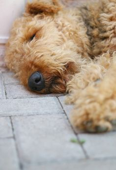 Such a darling picture, got to love Airedales