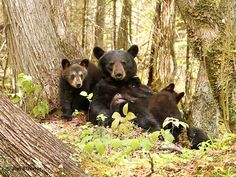 June 16, 2013   June and cubs Ely Minn.  research bears