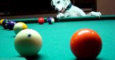 Este perro tiene una habilidad que algunos de nosotros carecemos. Si bien sabemos que un perro es capáz de jugar con una pelota y patear algunas otras cosas de goma, no es algo tan común sepa jugar billar. Pues este perro no solo arrastra las pelotas sino que las golpea a distancia y hace que caigan en los agujeros como todo un profesional. ¿Hubieras creido que esto era posible? Pues miralo ¡Lo es! ¿Qué te parece? COMPARTE