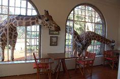 Giraffe Manor: Breakfast time. #giraffes