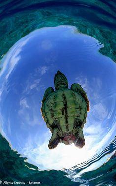 Fly Turtle - Bahamas