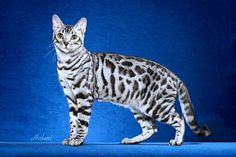 Savannah - Omg i want one of these cats.The Savannah is a hybrid domestic cat breed. It is a cross between a serval and a domestic cat. Silver Bengal Cat, White Bengal Cat, Bengal Cat For Sale, Bengal Cats, Tabby Cats, White Cats, Black Cats, Warrior Cats, Chat Toyger