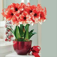 Stardust Amaryllis Bulb Gift: This trio of Amaryllis will bring a sensuous warmth to your own home or the home of a loved one this season. Big Amaryllis blooms open sparkling and red 6 to 8 weeks after delivery and bloom throughout the holidays. Spring Flowering Bulbs, Blooming Plants, Planting Roses, Planting Bulbs, Fall Flowers, Beautiful Flowers, Amaryllis Bulbs, Floating Garden, Amarillis