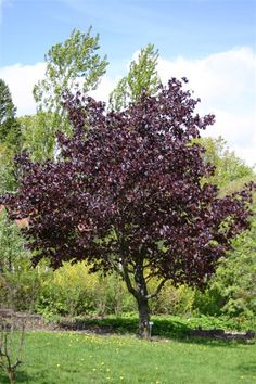 Hurmevaahtera - Acer plantanoides Garden Of Eden, Acer, Terrace, Plants, Trees, Balcony, Patio, Tree Structure, Plant