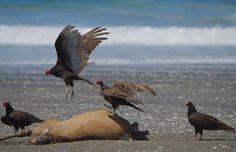 Washington Beach dead elk with turkey vultures