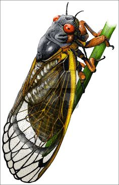 10 Best Cicada Stan images in 2019 | Insects, Ap biology, Beautiful bugs
