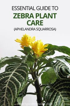 Complete guide to Zebra Plant care. Aphelandra squarrosa is beautiful and unusual, but there are a few essential things to know to keep yours in good condition. This isn't a houseplant for beginners, but is well worth the effort.