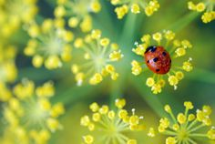 Gardening with beneficial bugs