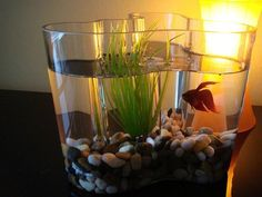 Aalto Vase can also be used as a fish bowl. Look!