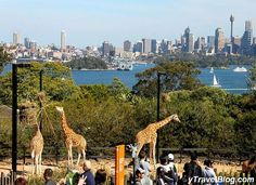 Visit Tarongo Zoo in Sydney - For insider travel tips on Sydney go here: http://www.ytravelblog.com/things-to-do-in-sydney-2/