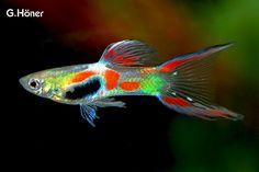 Poecilia Wingei, aka Endler Guppy (hybrids included!)