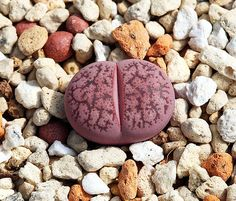 Lithops lesliei 'Fred's Redhorn' - Google Search