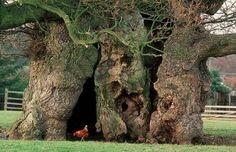 The Major Oak of Sherwood Forest, England Bowthorpe Oak tree Birch Tree Art, Oak Tree, Birch Tree Wallpaper Nursery, Willow Tree Nativity, Weird Trees, Pine Tree Tattoo, Palm Tree Leaves, Sherwood Forest, Cactus