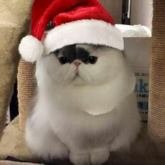 Christmas Kitten, Merry Christmas, Xmas, Beautiful Christmas, Cats And Kittens, Santa, Kitty, Cute, Animals