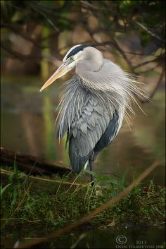 Great Blue Heron by Don  Hamilton Jr., via 500px