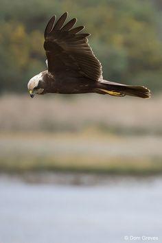 Marsh Harrier Float