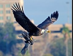 The Hunt, American Bald Eagle capturing a crow - Pixdaus Where Eagles Dare, Eagle Wings, Wild Creatures, American Spirit, Birds Of Prey, Wildlife Photography, Photography Ideas, Science And Nature, Predator