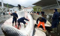 Icelandic plan to ship whale meat to Japan angers environmentalists - Campaigners say scheduled export of 1,700 tonnes of fin whale meat, set to be eaten by Japanese diners, flouts conservation agreements