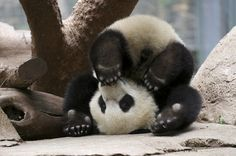 I had to have been a panda in another life.... That's the only explanation.