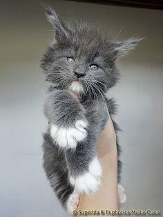 Maine Coon of Superbia - Suberbias L-Kitten - Supe. Maine Coon of Superbia – Suberbias L-Kitten – Superbias Lumina Pretty Cats, Beautiful Cats, Animals Beautiful, Beautiful Pictures, Cute Kittens, Cats And Kittens, Kitten Breeds, Gato Grande, Maine Coon Kittens