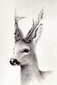 8x12 Fine Art Pencil Drawing Roe Buck by DeerandSwan on Etsy.