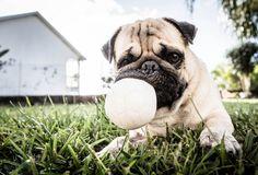 Mr. Pug says: Fetch?