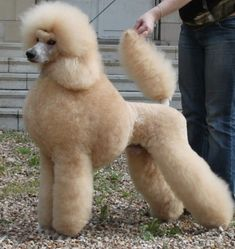 All About The Very Smart Poodle Pup Personality Poodle Grooming, Pet Grooming, Poodle Haircut Styles, Poodle Hairstyles, Small Poodle, Poodle Cuts, French Dogs, Purebred Dogs, Cute Cuts