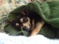 Poppy the Chihuahua