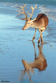 Deer in the natural reserve of Doñana in Andalucía (southern Spain, in the provinces of Huelva and Seville). It's a lovely place to ride a horse in the beach, watch fowl or just enjoy the beauty and take wonderful pictures like this one.
