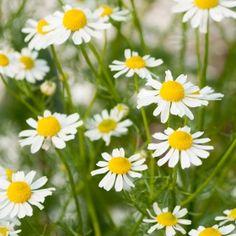 Kamomill: Vita korgblommor med gul, upphöjd mittdisk. Findelat, aromatiskt bladverk. Traditionell medicin...