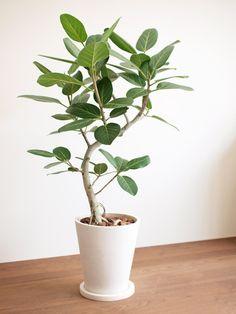 Ficus benghalensis | Banyan tree フィカス・ベンガレンシス 販売・通販 [詳細ページ] *tree tree*