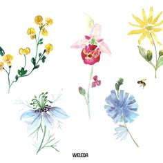Julia Perrin for @wedela : http://www.erichennebert.com/julia-perrin/… #illustrator #weleda #cosmetic #vegetal #ingriedients #illustration