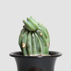 Myrchillocactus geometorizans 'cristata'