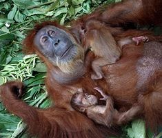 Formerly Blind Orangutan Sees Babies for First Time, Maru Inks Ad Deal