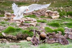 Gull Attacks Eider Ducks - Svalbard Arctic by Kellie Netherwood - Photo 45960246 / 500px